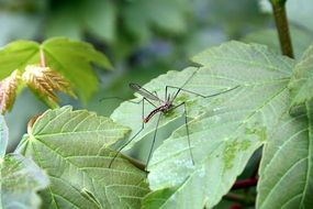 mosquito on a green leaf of a plant