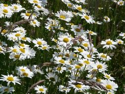 meadow of white daisies