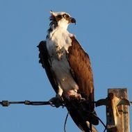 osprey sits on electrical wires