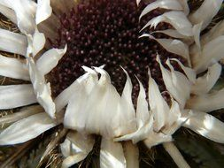 silver thistle flower closeup