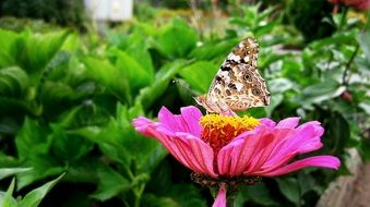 spotted butterfly on zinnia flower