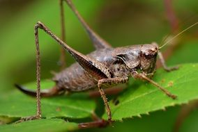big brown grasshopper on a green leaf
