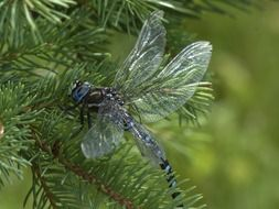 blue dragonfly with transparent wings