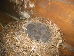 nest with chicks