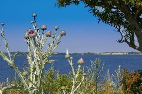 thistle in view of coast, rügen, germany