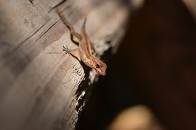 gecko lizard reptile nature