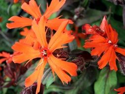red flowers of lychnis, perennial plant