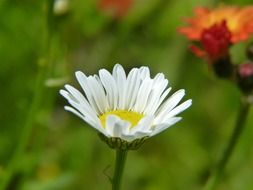 cute white daisy flower close-up