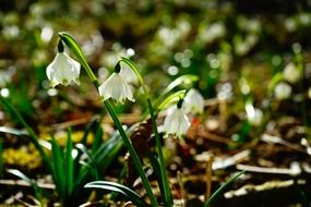 Photo of natural snowdrop