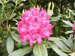 rhododendron flowers in the orchard