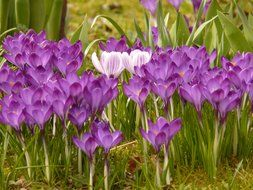 colorful crocus on the meadow