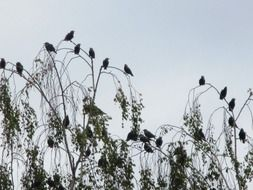 flock of migratory birds on trees