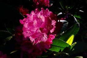 Pink rhododendron flowers in the spring