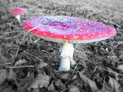 red toxic fly agaric mushroom