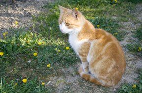 white ginger cat on a flowering meadow