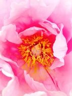yellow stamens in a pink peony bud