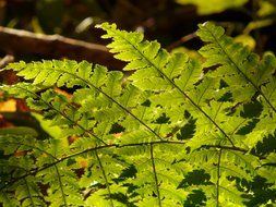 light green leaves of young fern