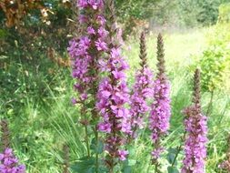 purple loosestrife on a green meadow