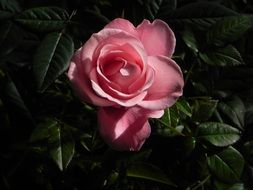 rose among dark green leaves