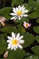 white water lilies nymphaea