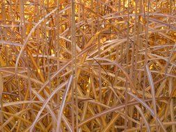 miscanthus in the blink of gold