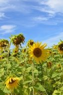 ripening sunflowers in field