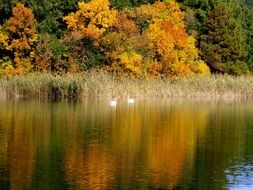 beautiful lake landscape with two swans and forest in the background in autumn