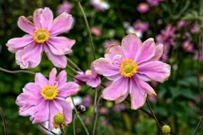 Anemone - kind of perennial flowering plants