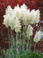 fluffy pampas grass in a garden