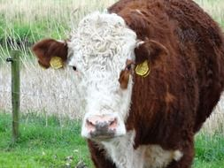 brown cow with white spots on the farm
