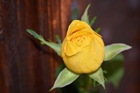 yellow rose flower close