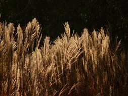 miscanthus sinensis against dark background