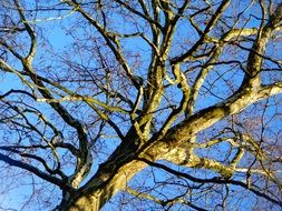 tree with branches without leaves against a clear blue sky