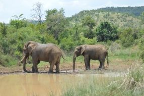 elephants in durty water