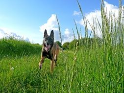malinois is a belgian shepherd