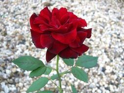 red rose on the background of small pebbles on the ground
