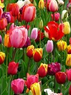 glade multicolored tulips