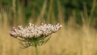 splendiferous wild carrot flower