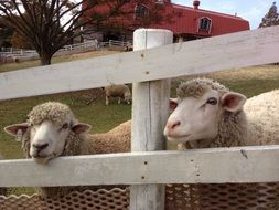 ranch sheep behind the fence