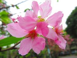 Pink cherry flower blossoms