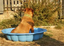 French Mastiff sitting in a blue basin