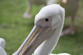pelican bird wildlife