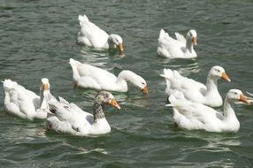 cute white geese on water surface