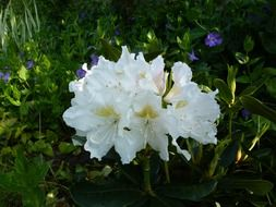 lush white rhododendron on a green bush
