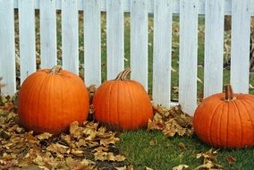 three pumpkins at wooden fence, thanksgiving decoration