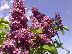 spring lilac flower