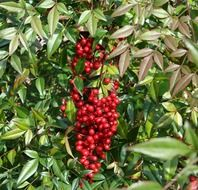 red berries with green leaves