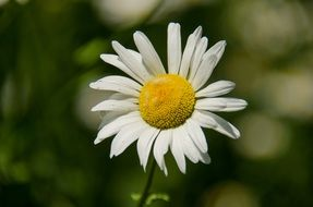 white daisy with yellow fluffy core