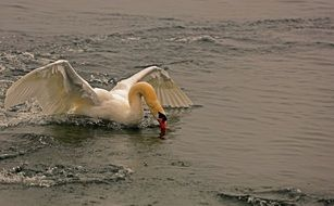 graceful white swan on the water