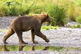 The bear goes near the river